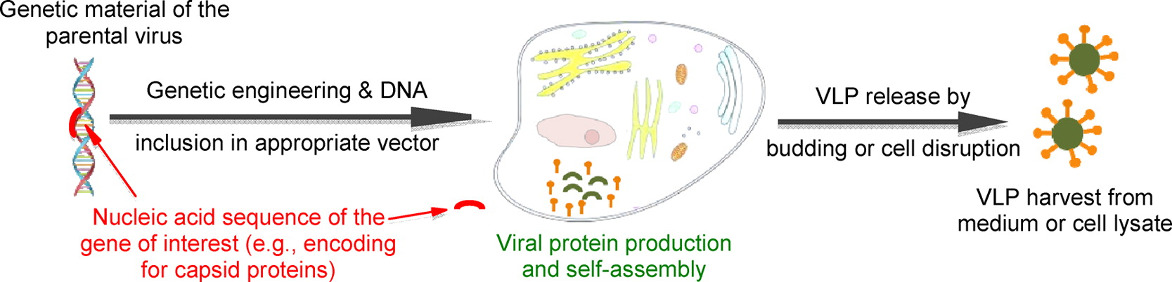 Figure 1: Production of Virus Like Particles in yeast cells. From Vacher, Kaeser, Moser, Gurny, & Borchard, 2013.